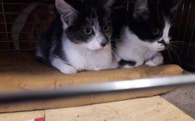 Dzikie koty z Tychów